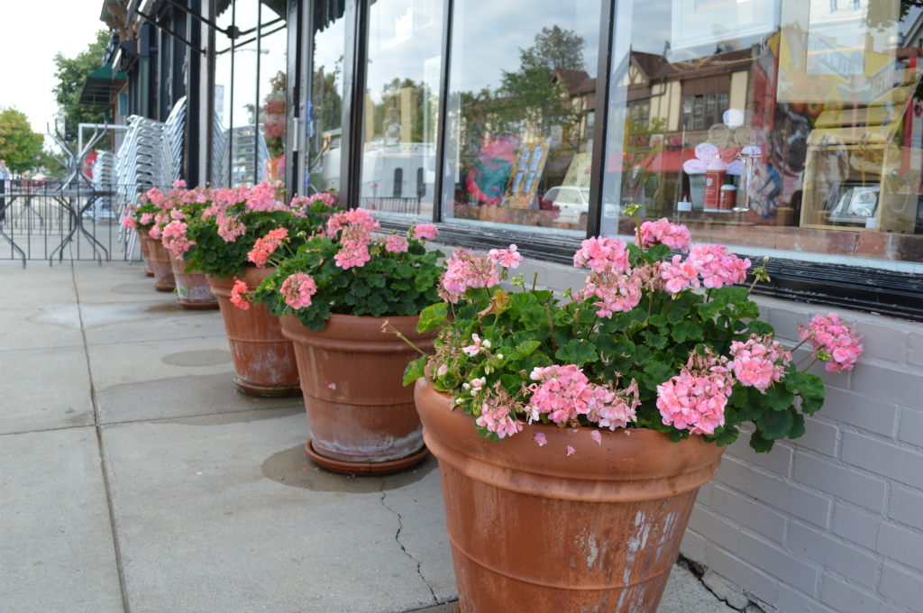 This line-up of geraniums in large pots can be found outside a store on Elmwood Avenue. #todayonmywalk